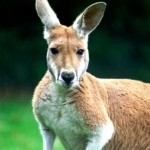 kangaroo 150x150 Bradley Manning should be President of the World