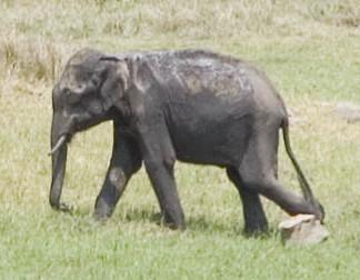 Photographic evidence of the elusive pygmy elephant.