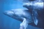 A whale calf and its mother are separated forever when Japanese Whalers hunt the calf. Then, a small submersible disguised as the calf harvests hundreds of gallons of the mother's milk.